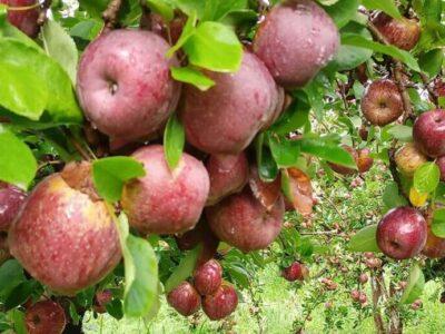 apples are mexicos hidden fruit 05 raul 1